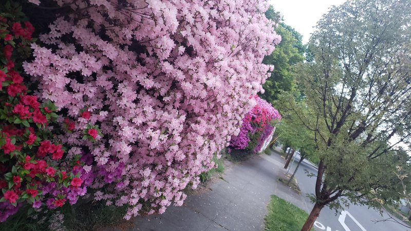 a sidewalk lined with trees and huge pink flowering bushes, with some red and purple flowers