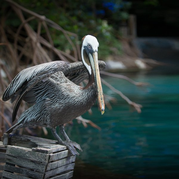 Pelican  - Grahm S. Jones, Columbus Zoo and Aquarium.jpg